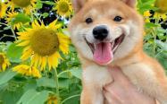纯种日本柴犬哪里买不会被骗?答:靠谱的线下犬舍!