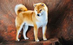 【长文】柴犬价格为什么那么贵?柴犬犬舍主成本分析