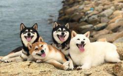 日本柴犬在哪买好,买几个月的狗最放心?