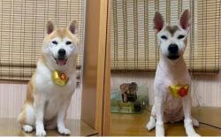 柴犬夏天需要剃毛吗?