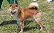 狗狗单血统和双血统的区别(双血统柴犬常见误区)