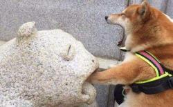 狗狗为什么喜欢咬主人的手和脚?柴犬的咬手行为