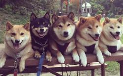 柴犬的六大本能