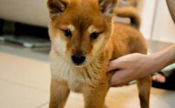 柴犬的一生:2个月的幼犬