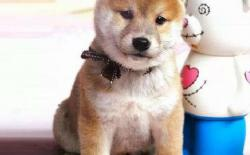 柴犬幼犬的一天:吃饭+如厕+玩耍+睡眠