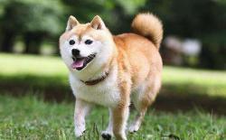 柴犬在室外生活的时候,主人需要做什么?