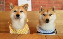 柴犬用什么样的饭盆好?狗狗喂食饭碗的选择