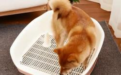 柴犬厕所篇(四):训练室内室外都能大小便