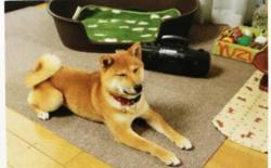 柴犬的社会化训练(一):习惯声音、触摸和陌生物品