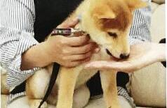 柴犬的社会化训练(二):习惯陌生人和人类的装扮