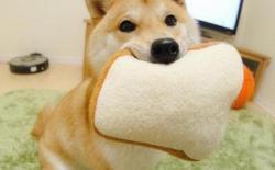 柴犬幼犬玩耍的重要性和注意事项
