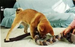 柴犬游戏(一)可以跟柴犬在室内玩耍的游戏