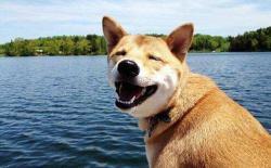 假期开车带柴犬远行,需要注意什么?