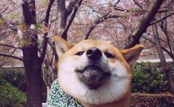 带柴犬去公园遛狗需要注意什么?