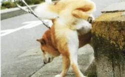 如何带柴犬散步?散步的作用、时间和次数