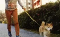 柴犬散步时和散步后的注意事项