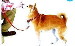 """怎么教狗狗坐下?柴犬的""""坐下""""训练"""