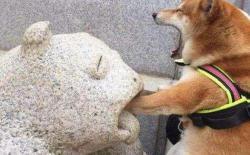 狗狗为啥爱咬东西?柴犬总咬东西怎么办?