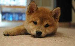 小柴犬为什么吃自己的便便?
