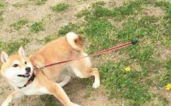 柴犬散步喜欢使劲拉拽绳子怎么办?