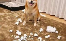 家里没人时柴犬搞破坏怎么办?如何防止拆家