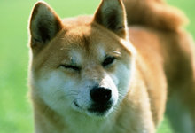 柴犬大小便训练失败了怎么办?