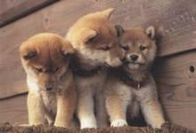 柴犬在围栏中的狗窝里大小便怎么办?