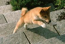 柴犬狗狗尿在了门口的蹭鞋垫上怎么办?