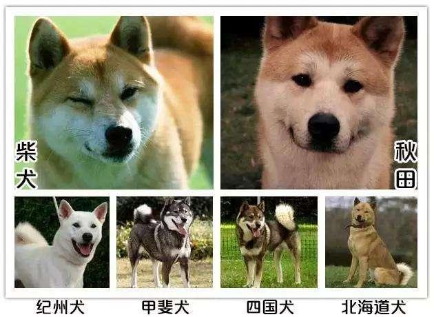 几种常见的经典日本犬.jpg