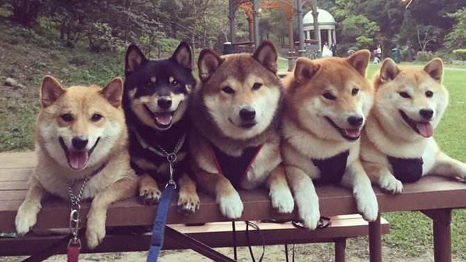 各种颜色的柴犬