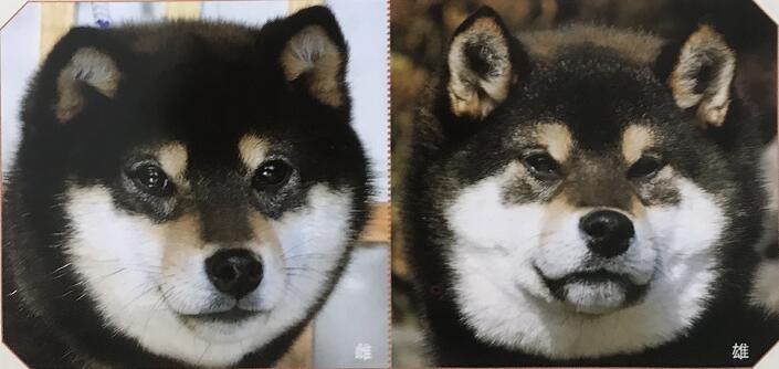 柴犬公母对比长相区别图-黑色.jpg