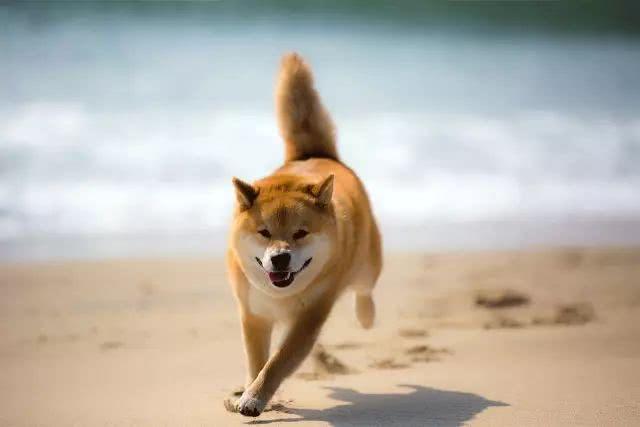 海边飞奔的柴犬