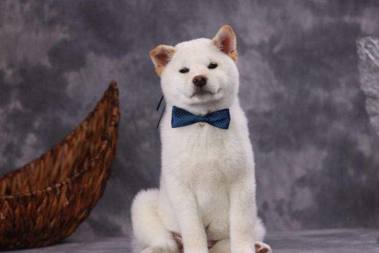 白柴-白色柴犬