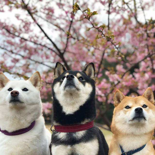 赤黑白三种颜色的柴犬的裹白
