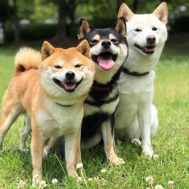 赤黑白颜色的柴犬的裹白