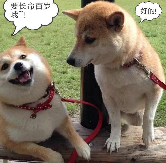 柴犬能活多少岁