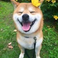 柴犬可爱大笑头像