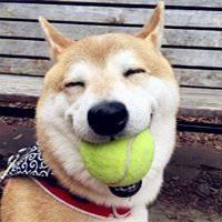 柴犬咬球微笑贱笑搞笑头像