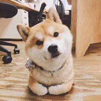柴犬可爱头像
