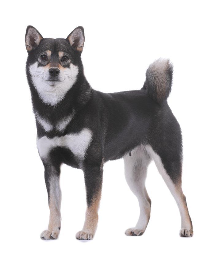 柴犬-黑色.jpg