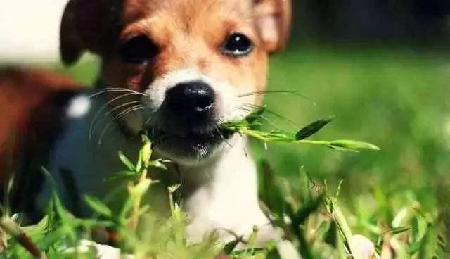 狗吃草.jpg