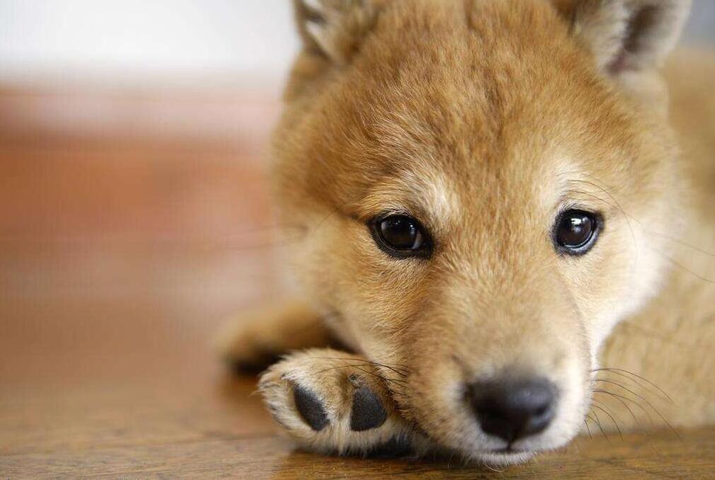 趴着的小柴犬.jpg