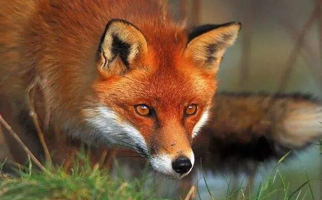 狐狸脸.jpg