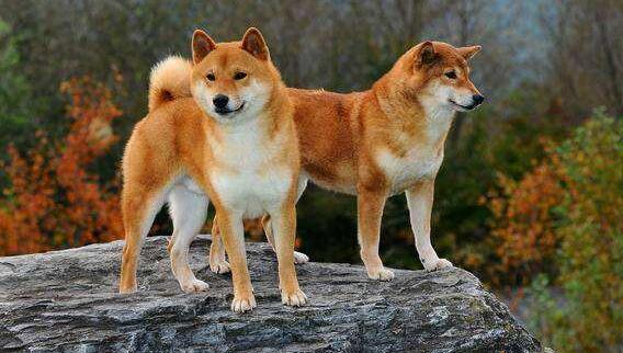 貉脸和狐脸的柴犬.jpg