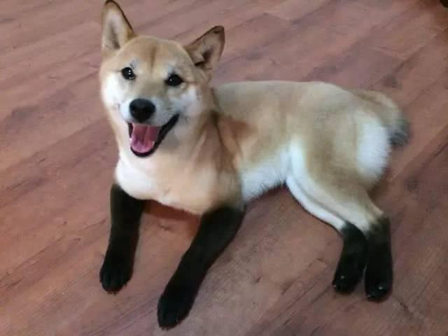 狐狸脸的柴犬2.jpg
