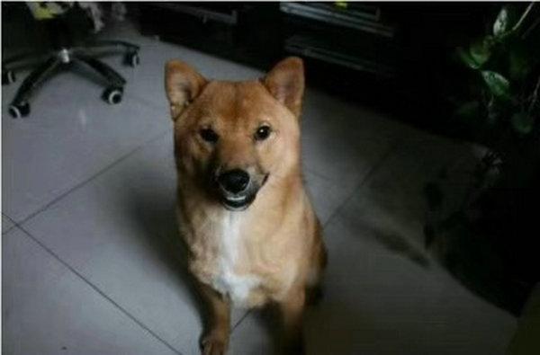 柴犬串串图片8
