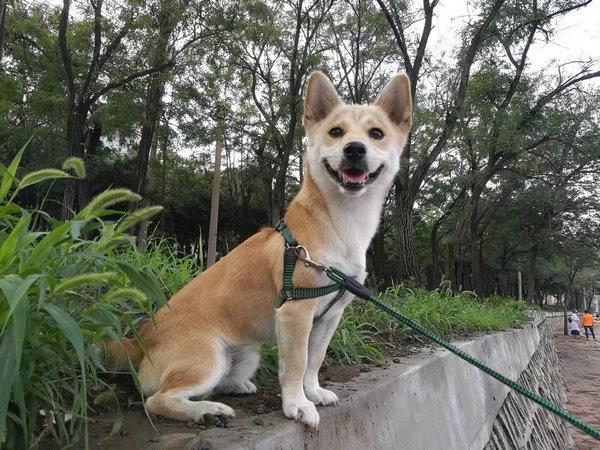 柴犬串串图片16