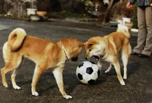 柴犬的社会化训练(三):习惯外面的环境和与其他狗狗的相处