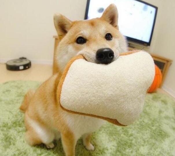 爱玩耍的柴犬.jpg