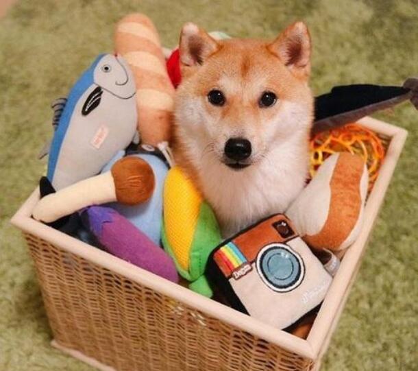 柴犬玩耍的玩具.jpg